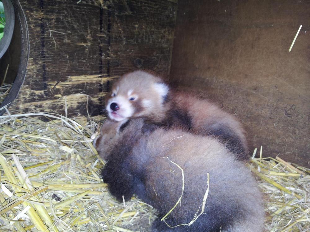 Red Panda Numbers are Growing! (2/4)