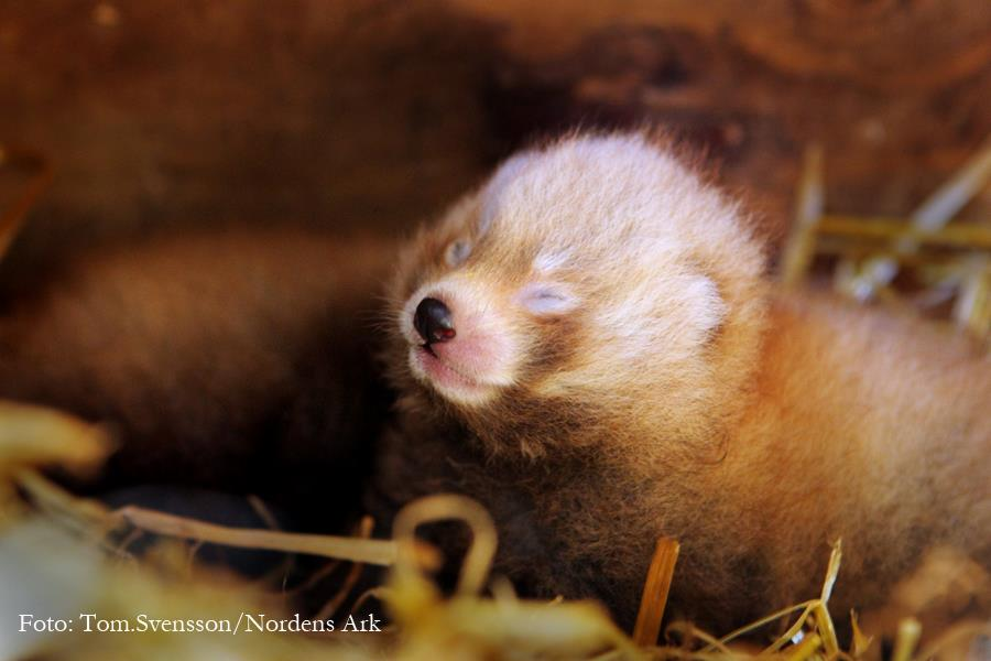 Red Panda Numbers are Growing! (1/4)