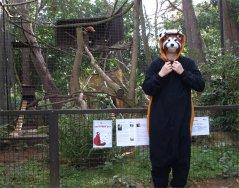 david as red panda