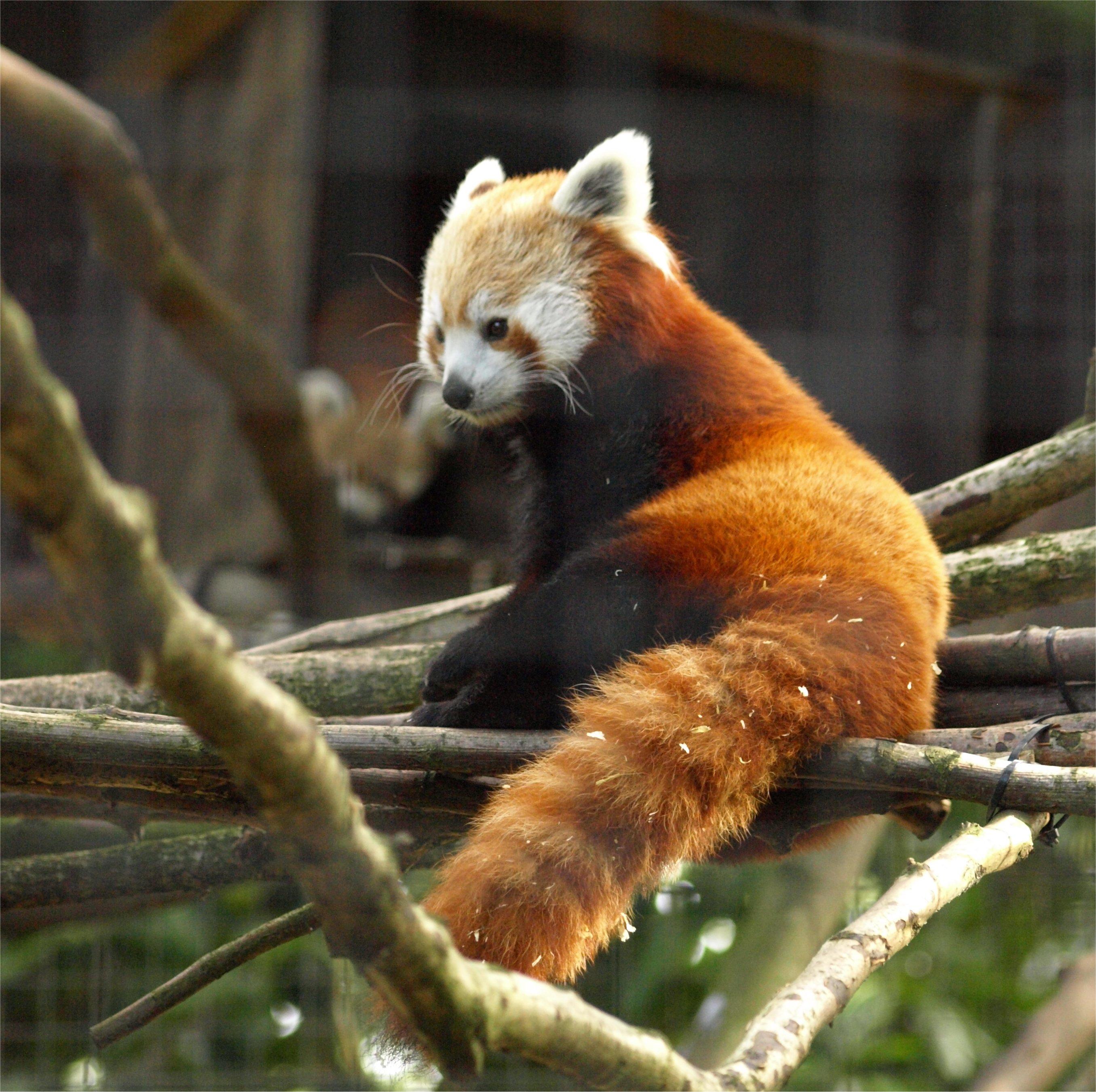 Raccoon Kigurumi Female Red Panda Onesiebuycom Red Panda Christine Lucas