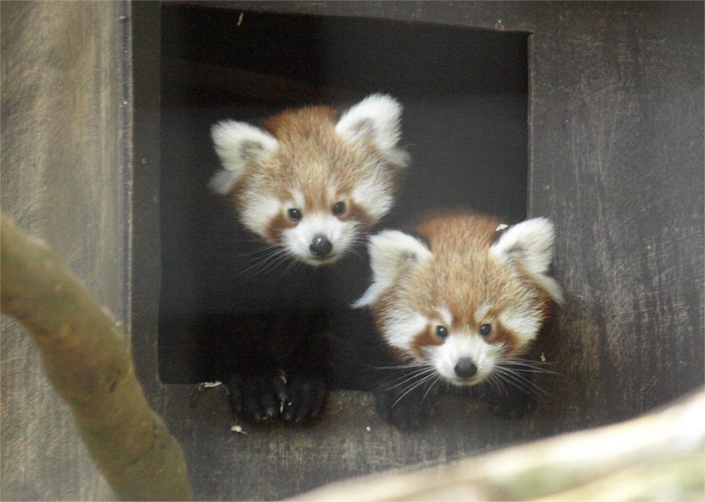 International Red Panda Day 2013! (3/3)