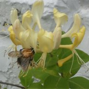 Bee on honeysuckle