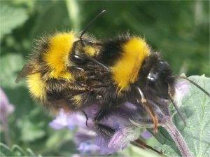 Mating Bees!