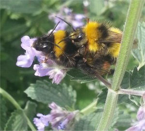 Poor male and Queen Bumblebee
