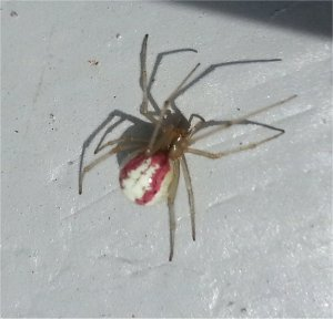 Comb Footed Spider!