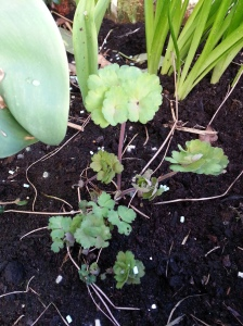 Aquilegia growing! The third year running!