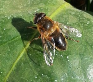Hover fly, or drone