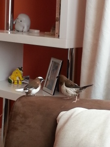 Chocolate and Romeo the Society Finches