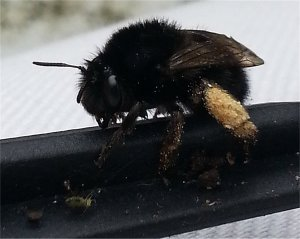 Hairy-footed flower bee female