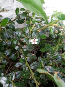 Cotoneaster flower