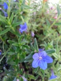 Lithodora Heavenly Blue