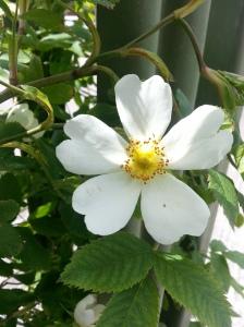 White heart shaped petal flower