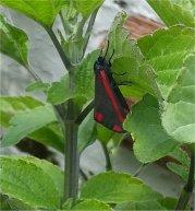 Cinnabar Moth...day moth