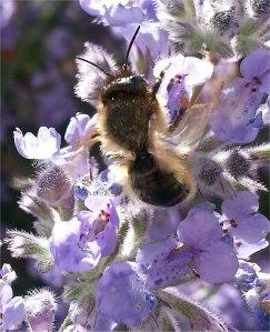 Tired Mason Bee