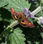 Gold Mint Moth