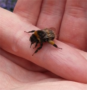 Tree Bumblebee on David's hand