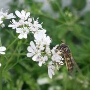 Hover Fly on Coriander Flowers
