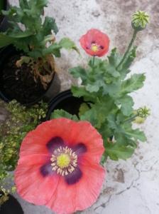 Wild Poppy
