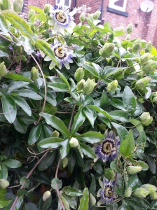 Four Passion Flowers!