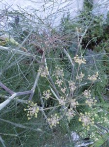 Fennel flowers