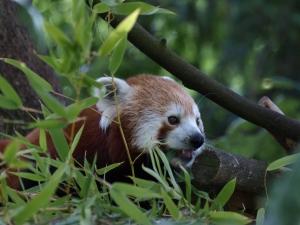 Male Red Panda
