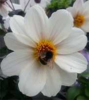 Bumblebee on Dahlia