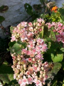 Sedum and Honey Bee