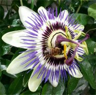 Honey Bee and Passion Flower