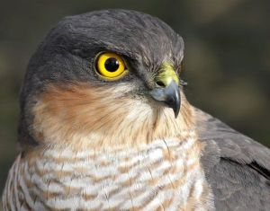 Sparrowhawk. From: http://theshakespeareblog.com/2012/01/how-to-tame-your-falcon-and-your-wife/
