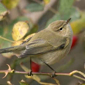 Chiffchaff by Rayh from: http://www.birdforum.net