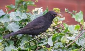Female Blackbird by David Evans