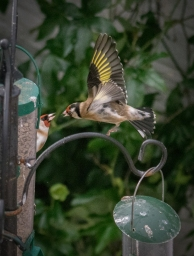 Goldfinches Picture by David Evans