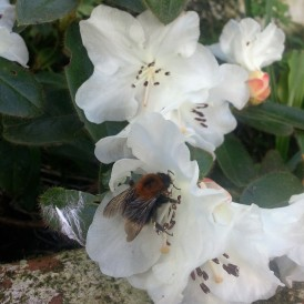 Tree Bumblebee on rhododendron