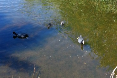Coot chicks!