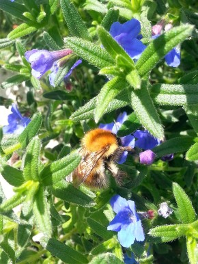 Common Carder Bee on Lithodora Blue