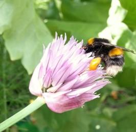 Garden Bumblebee