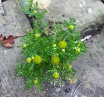 Pineapple Mayweed