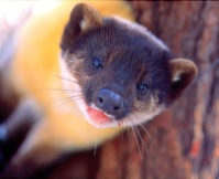 Yellow Necked Marten