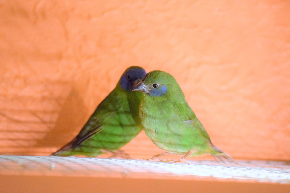 Blue-faced Parrot Finches