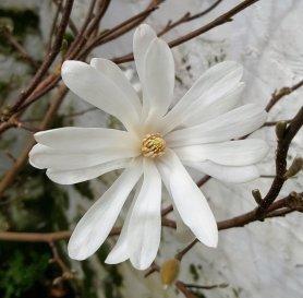 Stellata magnolia