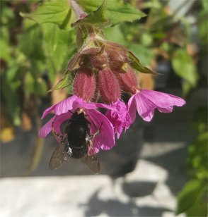 Female Hairy-footed Flower Bee