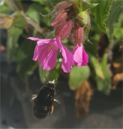 hairy footed flower bee female