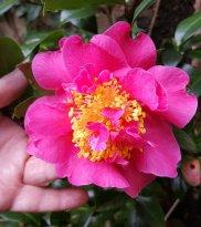 Mum's camellia