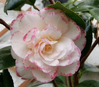 My camellia