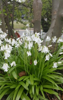 White bluebells