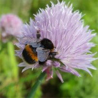 Buff Tailed Bumblebee
