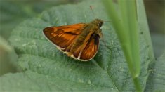 Large Skipper