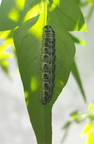 Large white caterpillar