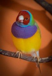 Rainbow -Gouldian