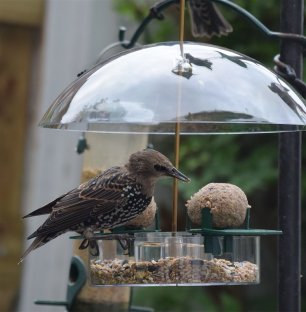 Fledged starling on new feeder